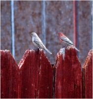 Purple Finches by SuicideBySafetyPin