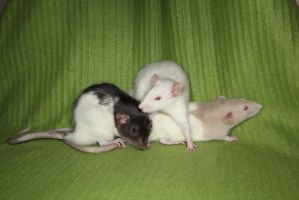 3 Rats Stock 1 by NickiStock