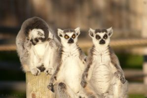 Lemurs at Drusillas Park by Andrey-S