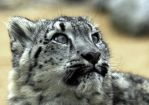 Snow Leopard Cub by Shadow-and-Flame-86