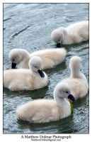 Swans 4 by GetMadBaby