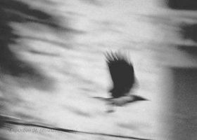 hooded crow panning by twotonearmy
