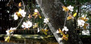 Ume Blossoms 1 - Signs of Spring by KisaragiChiyo