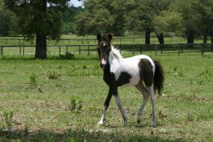 Mini Foal Stock by GloomWriter