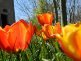 Orange Tulips by FarukAytekin