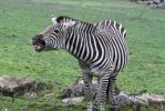 Zebra Stock II 44 by LuDa-Stock