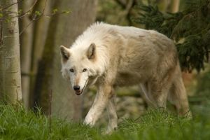 Wolf Standing Up in Grass 2 by happeningstock