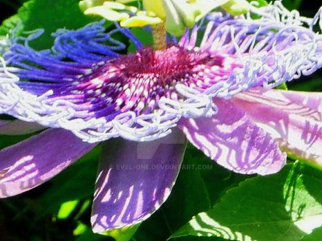 }{  Exotic  Beauty  ~~~~~ by EVEL-ONE