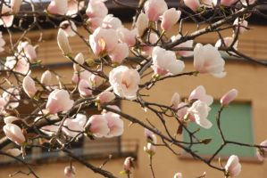 Magnolia flowers. Lugano by red-eye-girl