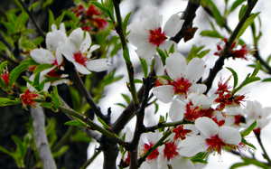 Almond blossoms II by krigl