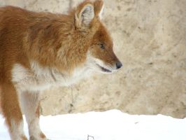 Dhole by Fictionary