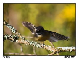 Dancing Fantail by carterr