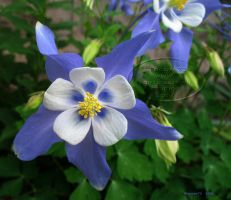 Blue Columbine by Foozma73