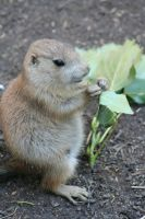 Prairie Dog 2 by Hated-By-Many