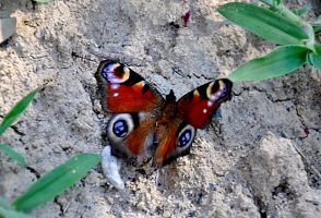 butterfly with big eyes by marlene-stock