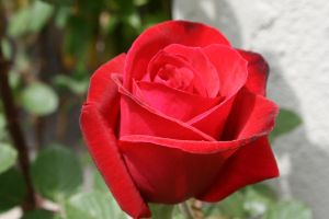 rose1 by KnB-Stock