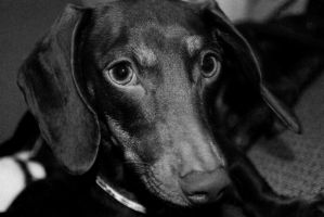 Dachshund Black and White 2 by creynolds25