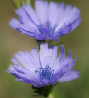 chicory twins... by clochartist-photo