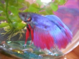 enrique the betta 2 by Ferret-Luver-Girl
