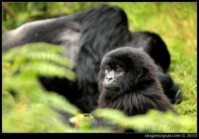 SHADOW OF THE SILVERBACK by dogansoysal