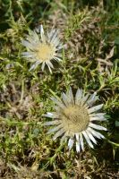 Dry flowers of Alps thistle by A1Z2E3R