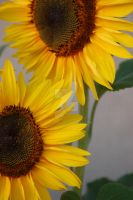 Sunflower 2 by JulieDing