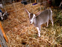 Goat by Zeds-Stock