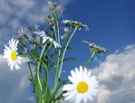 Daisies and Sky 2 by Villainess-Vi