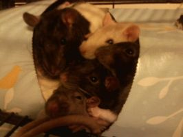 box o rats by HER13