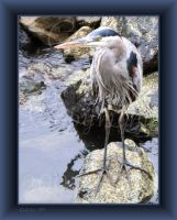 Great Blue Heron by Goldey