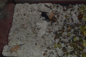 Baby gerbils 11th day by Spiremagus-Esquire