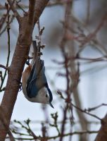 White-breasted Nuthatch by LAlight
