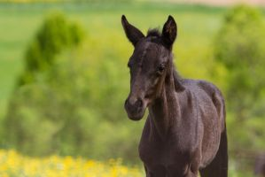 Black Colt Saphir by LuDa-Stock