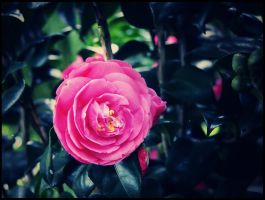 Camellia by WillTC