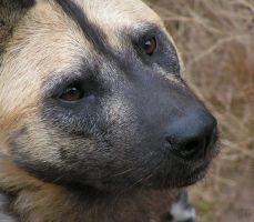 Wild dog close up by Henrieke
