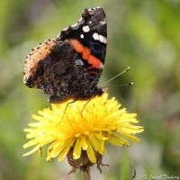 Butterflies and Dandelions! by JosephTimbury
