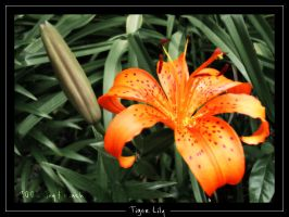 Tiger Lily 1 by migratingevilpoo