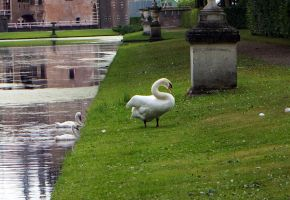 Swans II by Gwendolyn12-stock