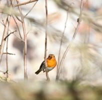 Young Robin 2 by pqphotography