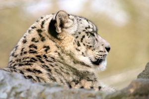 Snow Leopard 2 by McProbius