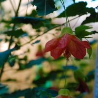 Abutilon by No-Avail