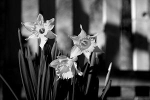 Black And White First Sign of Spring by Nat-photography