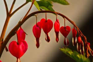 my bleeding heart by love-my-camera