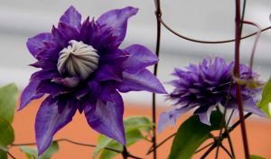 Clematis 2 by archaeopteryx-stocks