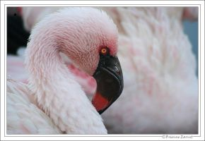 Lesser Flamingo portrait by oOBrieOo