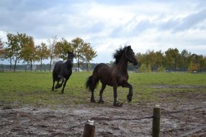 2 Friends *friesian hors stock* by horse-power