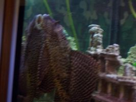 My sailfin Pleco On the glass by Goose900