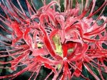 spider lily flower painting by derekmccrea
