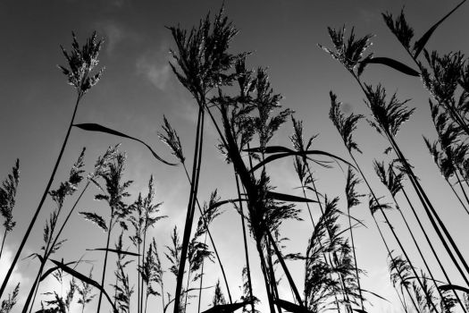 Reeds by WilljCreations