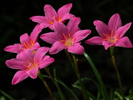 Rain Lillies by salman-khan